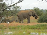 Thekwane Lodge / Dinokeng Wildpark / Elefant